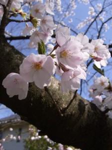 寺尾中央公園の桜