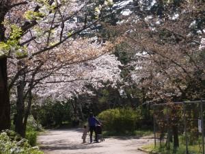 寺尾中央公園の桜並木